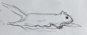 Flying squirrel sketch